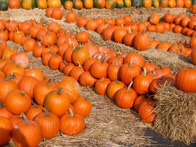 koi pantone pumpkins