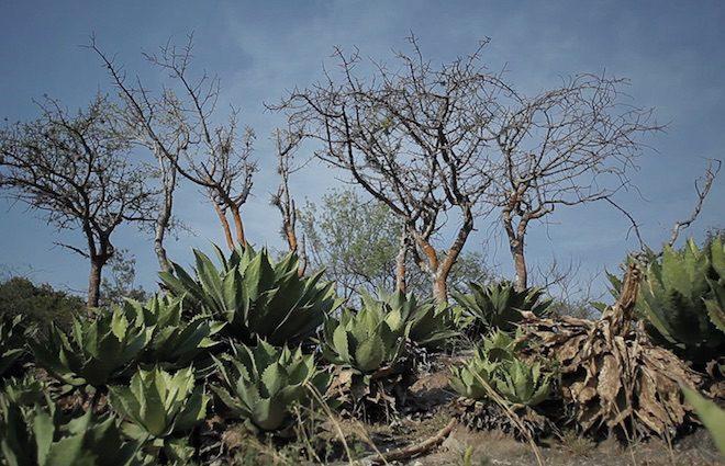 mezcal amores agave mexico
