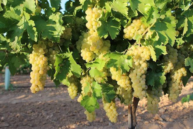 bodegas verum uva ecologica