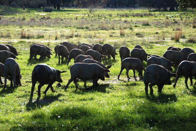 cerdo iberico tendencias foodie 2018