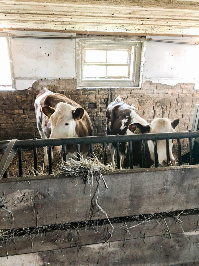 granja valle del emme vacas