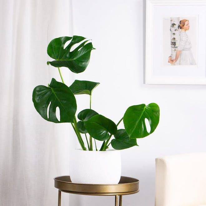 costilla de adan plantas de interior
