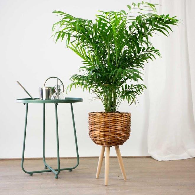 palmera de salon plantas